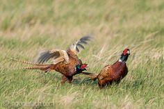 The hunt of the pheasants.   Die Jagd der Fasane - oder: Verpiss dich.     www.ingogerlach.com