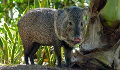 1. The Collared Peccaries  [6 Unusual Animals to See in Costa Rica]