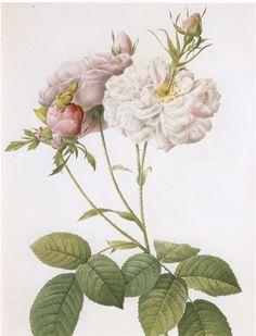 https://flic.kr/p/6WPPHY | Celsiana Rose | Pierre-Joseph Redouté from Les Roses, 1817-1824
