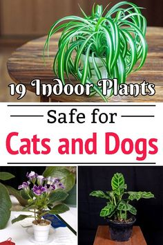 Are you searching for plants that are safe for your pets? Here is an exclusive list of 19 Low Light Indoor Plants Safe for Cats and Dogs! Amazing Gardens, Beautiful Gardens, Indoor Plants Low Light, Plants Indoor, Indoor Gardening, Outdoor Gardens, Indoor Pets, Spider Plants, Pet Safe