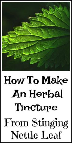 How to make a homemade herbal tincture with stinging nettle leaf.