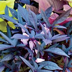 BLACKIE SWEET POTATO VINE - Annual.  Part shade - full sun.  5 - 6' Vining.  Great in hanging baskets or windowboxes.  Tender annual that usually doesn't bloom except in deep south.  Prefers well-drained soil.  Use organic matter in soil for best results.