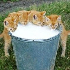 Five orange tabby kittens getting their fill of milk from a farm pale. Awww!!