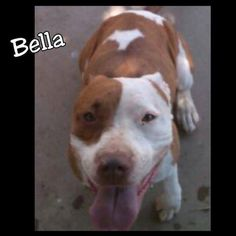 Meet Bella, an adoptable Pit Bull Terrier looking for a forever home. If you're looking for a new pet to adopt or want information on how to get involved with adoptable pets, Petfinder.com is a great resource.