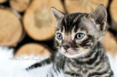 Discover our Bengal Kittens & Cats that are currently for sale. We take great pride in our breeding programs and the development of their personality!