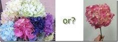 Bunch of Hydrangea or a stem of hydrangea?  Have questions about bunch/stem pack size, get some answers here!
