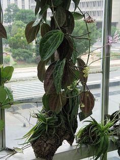 Hoya clandestina