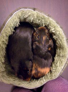 Guinea Pigs http://ift.tt/2hyUyWa