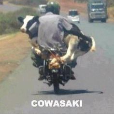 Riding A Bike While Holding A Cow ---- funny pictures hilarious jokes meme humor walmart fails.