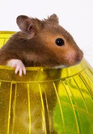 Hamsters are big on exercise, so please make sure yours has a wheel for running. Hamsters also like to hide and sleep inside enclosed spaces, so you'll need a small box with an entrance hole or a small flower pot for this purpose. And they love crawling through tubes, which can be homemade (empty cardboard tubes from paper towels and toilet paper!)