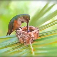 Hummingbird Feeder Discover A hummingbird feeding her precious babies. A hummingbird feeding her precious babies. Cute Birds, Pretty Birds, Beautiful Birds, Animals Beautiful, Beautiful Eyes, Cute Funny Animals, Cute Baby Animals, Animals And Pets, Tier Fotos