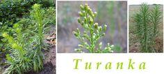 Turanka - účinky na zdraví, co léčí, použití, užívání, využití - Bylinky pro všechny
