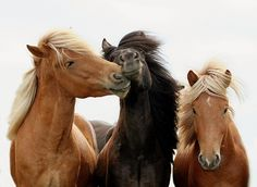 Icelandic horses, Anna Andres