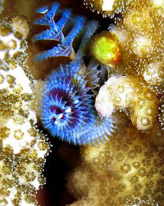 Christmas Tree Worm. This tube - building worm is found in many of the worlds tropical waters.