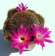 Rebutia canigueralii ssp. pulchra | Flickr - Photo Sharing!