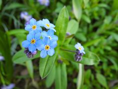Nicht zu vergessen: Blaue Freuden mit dem Vergiss-mein-Nicht