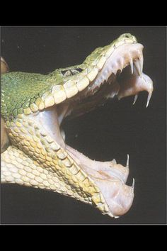 Snake fangs/teeth