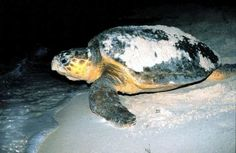"""Preparan los talleres """"Conservación de tortugas marinas y sus hábitats críticos"""""""