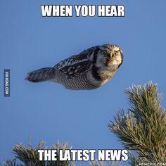 Northern hawk-owl (Surnia ulula) #torpedoowl #9gag