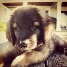 Leonberger give him to me.