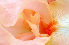 Au coeur de l'iris orangé
