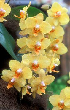 Phalaenopsis Mystik Orchid ~ Golden Leopard  'Cheetah'