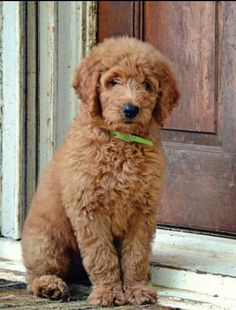 I started saving for this little guy <3 Ill have my goldendoodle soon <3