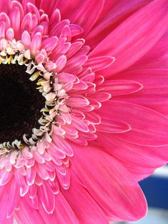 Gerbera Daisy - ©Patricia Gomez ROn (Miss Muffin) - www.flickr.com/photos/_missmuffin_/454447271/
