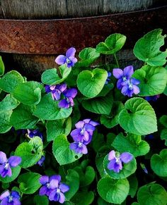 sweet Violets (Violets and Barrel by Paul Moody) Purple Flowers, Wild Flowers, Beautiful Flowers, Colorful Roses, Shade Garden, Garden Plants, Sweet Violets, Pansies, Lilacs