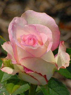 https://www.facebook.com/Roses.paiya/photos/pb.380176465446392.-2207520000.1462620088./823436631120371/?type=3