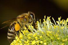 První pomoci při štípnutí a kousnutí | Zdravestravovani.eu Photo Canvas, Canvas Art, Le Pollen, Bee Photo, Bee On Flower, Climate Change Effects, Animal Species, Save The Bees, Fauna