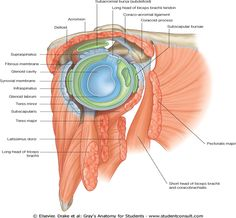 Excellent overview of anatomy, innervations, and pathology