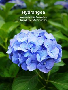 History and Meaning of Hydrangeas - ProFlowers Blog