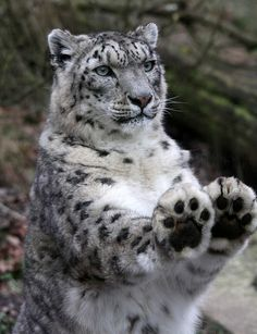 """I'll take eight, please.""     Did you know snow leopards use their paws to count? (Well, they don't. But they are awesome!)"