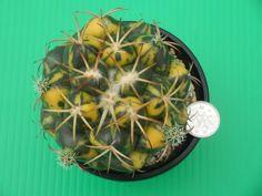Succulent, cactus, 5, ivory MaruNishiki _ image 3