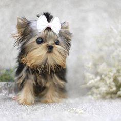 Beautiful 4 month teacup female Yorkie available! She has a lovely extreme baby doll facethick coat and amazing personality! Call text or WhatsApp for her info Tap the link for an awesome selection cat and kitten products for your feline companion! Toy Yorkie, Teacup Yorkie, Teacup Puppies, Pomeranian Puppy, Husky Puppy, Aussie Puppies, Cute Puppies, Cute Dogs, Yorkshire Terrier Haircut