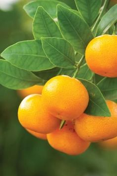 Citrus trees are a joy to grow and there's a variety to suit every type of gardener. Fruit Plants, Fruit Garden, Fruit Trees, Trees To Plant, Fresh Fruits And Vegetables, Fruit And Veg, Fruit Food, Healthy Vegetables, Exotic Fruit