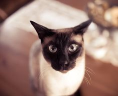 Siamese cats (95 pictures) (68)