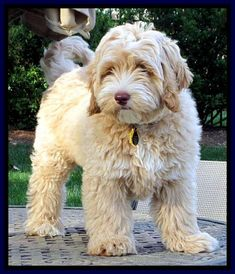 Southern Charm Labradoodles - American and Australian Labradoodle puppy Breeder, American and Australian Labradoodle puppies For Sale in Georgia, Australian and American Labradoodle Dog Breeders Georgia - groom