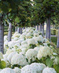 hydrangea garden care 33 Beautiful Hydrangea Design Ideas Landscaping Your Front Yard Hydrangea Landscaping, Front Yard Landscaping, Landscaping Trees, Farmhouse Landscaping, Moon Garden, Dream Garden, Outdoor Plants, Outdoor Gardens, Beautiful Gardens