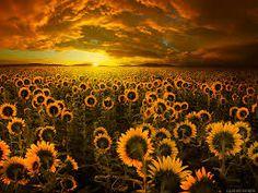 Image result for floarea soarelui