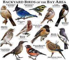 Bay Area Birds by rogerdhall on DeviantArt