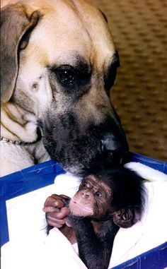 The Great Dane and His Baby Chimp 19 Photos That Prove Love Knows No Bounds Love My Dog, Baby Animals, Funny Animals, Cute Animals, Dane Dog, Dog Cat, Beautiful Creatures, Animals Beautiful, Animal Experiences