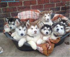Husky Puppy Basket