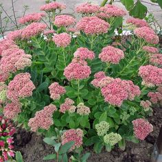 Sedum, Autumn Joy Plug Flat – MOONSHINE DESIGNS NURSERY