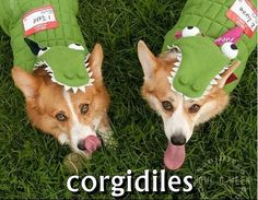 Do I want to post this for the corgi or the costume...?