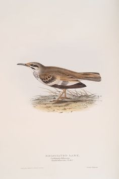 Bifasciated Lark (Certhilauda bifasciata; Alauda bifasciata).