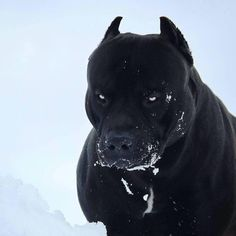 Hunting season for panthers ? ------------------------------------------------------------ FYou can find Pitbull . Pitbull Terrier, Pitbull Noir, Big Dogs, Cute Dogs, Dogs And Puppies, All Black Pitbull, Black Pitbull Puppies, All Black Dog, Black Doberman