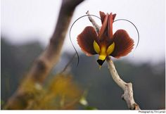Paradisaea rubra  Framed by its wiry tail feathers, a red bird of paradise is nature's valentine—an apt emblem for this family of birds famous for fanciful plumage and elaborate courtship rituals.