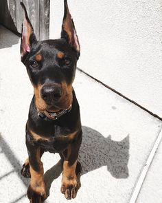 Doberman Puppies, Doberman Pinscher Dog, Corgi Puppies, Blue Doberman, Terrier Puppies, Boston Terrier, Cute Dogs And Puppies, Big Dogs, Doggies
